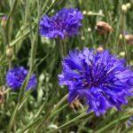 Rukkilill, blue cornflower